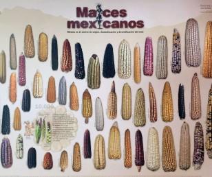 Różnorodność kukurydzy